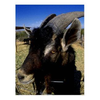 Domestic Goat Postcard