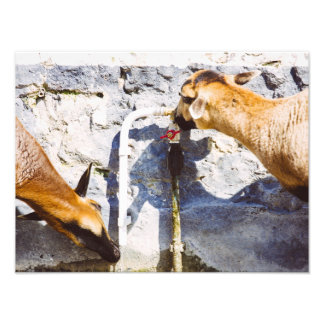 Domestic Goats Drinking Water, Farm Photograph