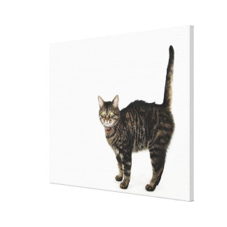 Domestic male tabby cat standing canvas print
