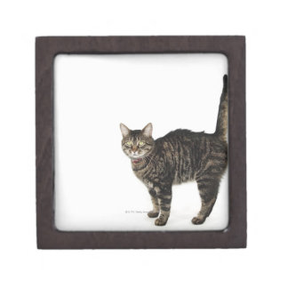 Domestic male tabby cat standing gift box