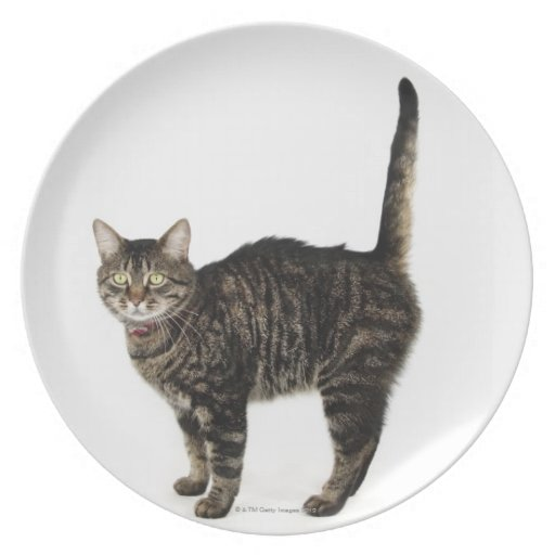 Domestic male tabby cat standing party plate