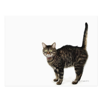 Domestic male tabby cat standing postcard