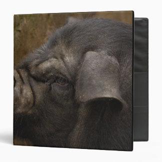 Domestic pig in Hani village. Yuanyang. Yunnan 3 Ring Binders