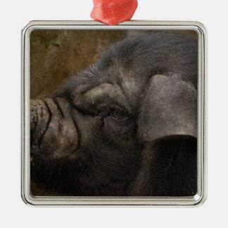 Domestic pig in Hani village. Yuanyang. Yunnan Metal Ornament