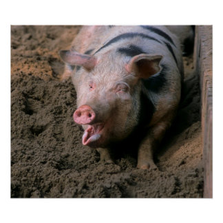 Domestic pig with open muzzle, close-up, poster