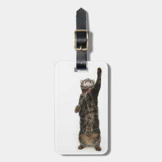 Domestic tabby cat standing on two legs reaching luggage tag