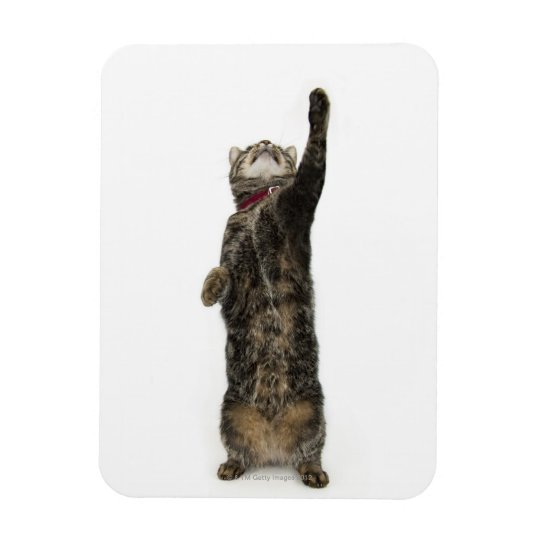 Domestic tabby cat standing on two legs reaching magnet