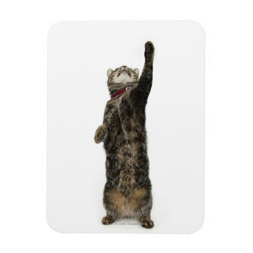 Domestic tabby cat standing on two legs reaching vinyl magnets