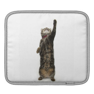 Domestic tabby cat standing on two legs reaching sleeve for iPads