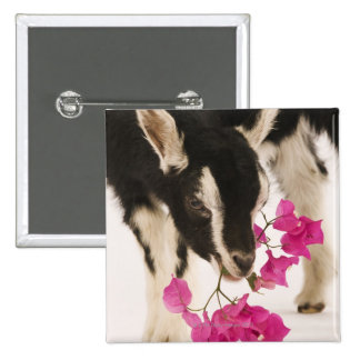 Domesticated British Alpine goat (kid). Black Buttons