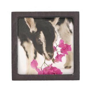 Domesticated British Alpine goat (kid). Black Jewelry Box