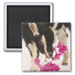 Domesticated British Alpine goat (kid). Black Fridge Magnets