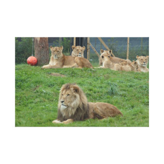 Dominant Lion and his Lionesses' Canvas Print