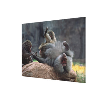 Dominant male Hamadryas baboon being groomed, Canvas Print
