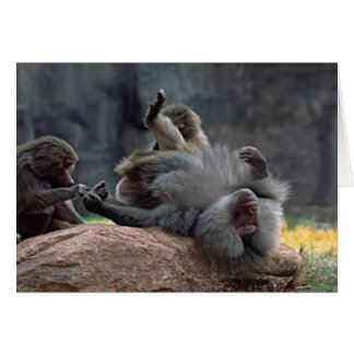 Dominant male Hamadryas baboon being groomed, Card