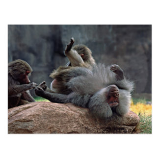 Dominant male Hamadryas baboon being groomed, Postcard