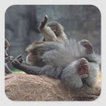 Dominant male Hamadryas baboon being groomed, Square Sticker