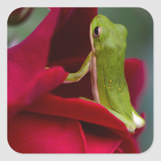 Don Juan Red Rose and Green Tree Frog Square Sticker