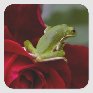 Don Juan Rose and Green Tree Frog Square Sticker