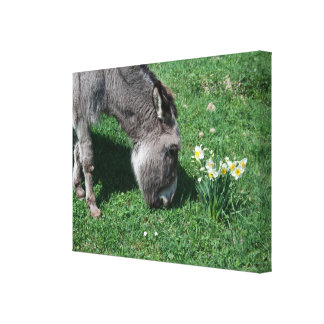 Donkeys Don't Eat Wild Daffodils Canvas Print