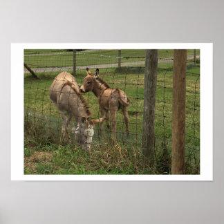 Donkeys Photo Poster