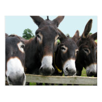 Donkeys Postcard
