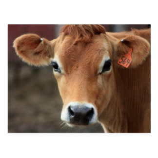 Don't you think I'm Pretty Jersey Cow Postcard