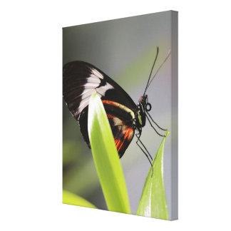 Doris Longwing Butterfly Canvas Wrap Canvas Print