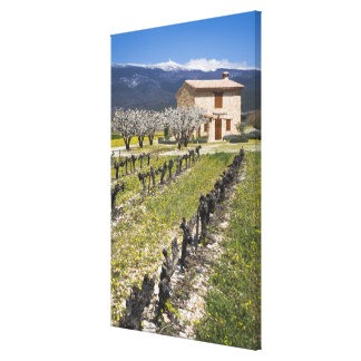 Dormant vineyard, fruit blossoms, stone house, gallery wrapped canvas