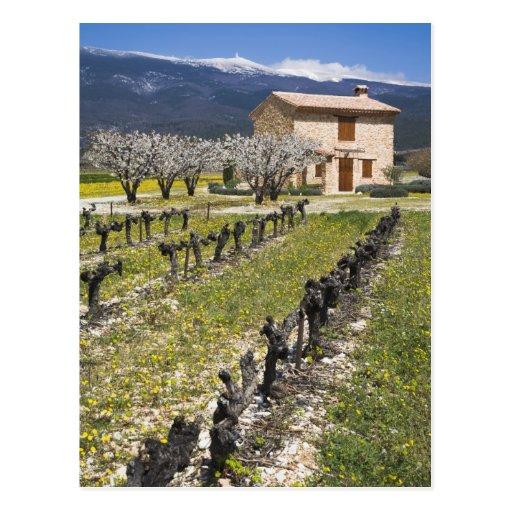 Dormant vineyard, fruit blossoms, stone house, postcard
