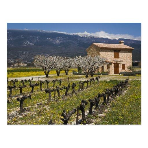 Dormant vineyard, fruit blossoms, stone house, post card