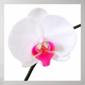 Dorne del phalaenopsis de PixDezines orquídea blan Poster
