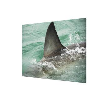 Dorsal aileron of a Great White shark Canvas Print
