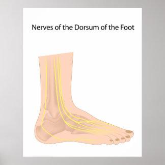 Dorsal digital nerves of foot Poster