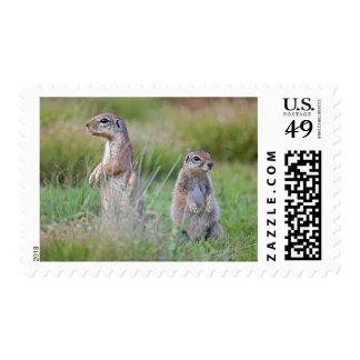Dos ardillas de tierra alertas, distrito de timbre postal