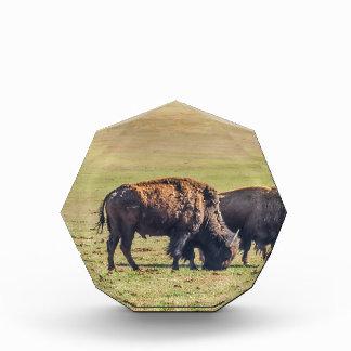 Dos búfalos de pasto en la gama