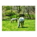 Dos caballos blancos que pastan postal
