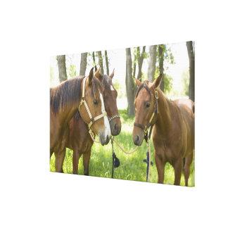 Dos caballos cuartos americanos que se colocan en  impresión en lona estirada