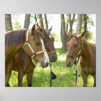 Dos caballos cuartos americanos que se colocan en  posters