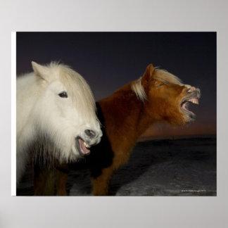 Dos caballos islandeses poster
