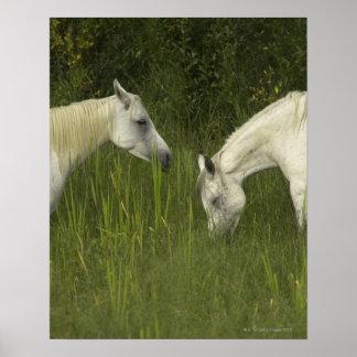 Dos caballos que comen la hierba poster