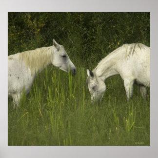 Dos caballos que comen la hierba impresiones