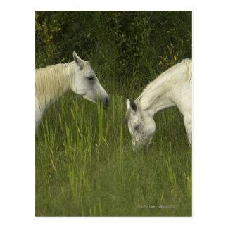 Dos caballos que comen la hierba tarjetas postales