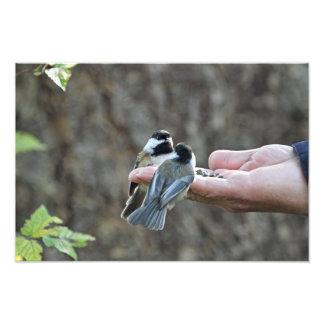 Dos Chickadees en una mano Fotografía