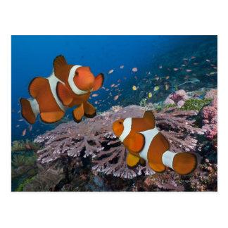 Dos Clownfish Tarjetas Postales