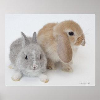 Dos conejos. Enano y Holanda Lop. de Netherland Póster