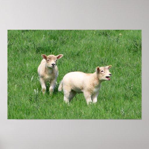 Dos corderos póster