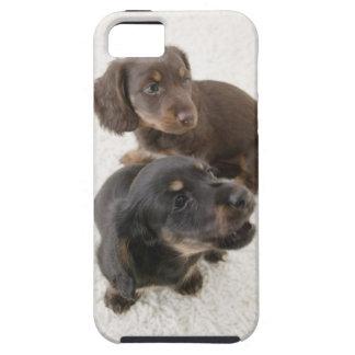 Dos Dachshunds miniatura, tiro del estudio iPhone 5 Carcasas