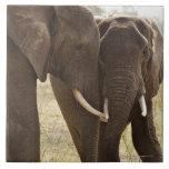 Dos elefantes africanos de Bush (Loxodonta African Azulejo Cuadrado Grande