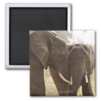 Dos elefantes africanos de Bush Loxodonta African Imán